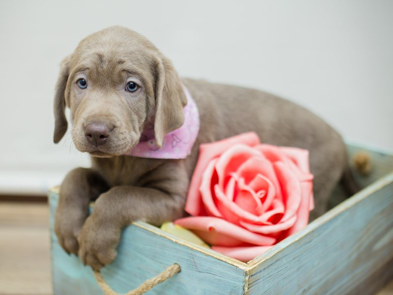 Labrador Retriever-DOG-Female-SILVER LAB-2298673-Petland Wichita, KS