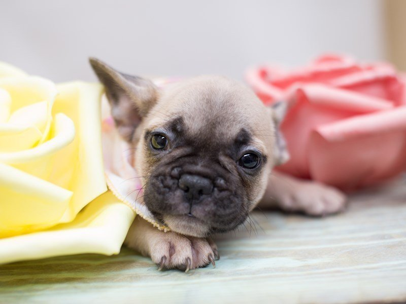 French Bulldog-DOG-Female-Fawn with Black Mask-2304857-Petland Wichita, KS