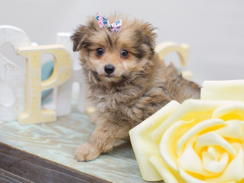 Toy Pompoo-Female-sable-2304717-Petland Wichita, KS