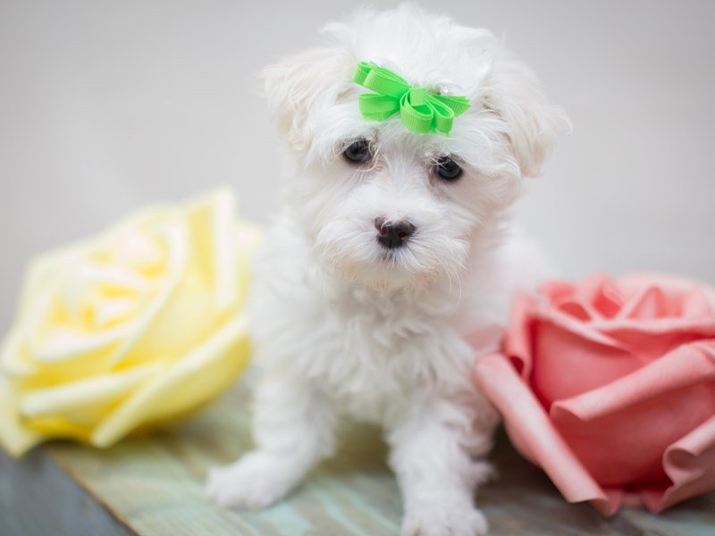Maltese-Female-White-2303634-Petland Wichita, KS