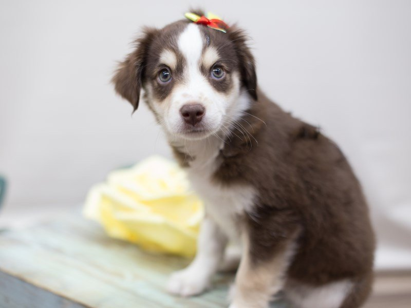 Australian Shepherd-Female-Red-2303796-Petland Wichita, KS