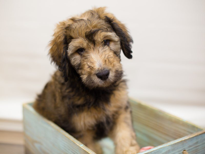 Aussiedoodle-Male-Tri Sable-2310228-Petland Wichita, KS