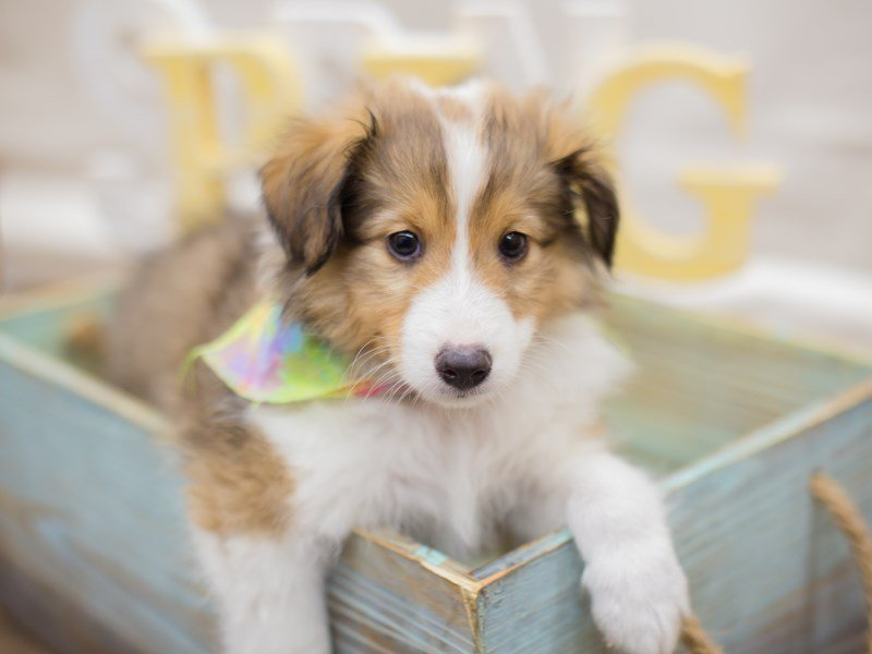 Shetland Sheepdog-Male-Sable & White-2314823-Petland Wichita, KS