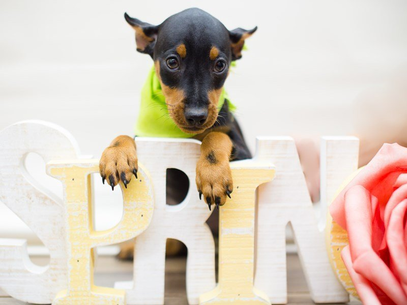 Miniature Pinscher-Male-Black & Tan-2286324-Petland Wichita, KS