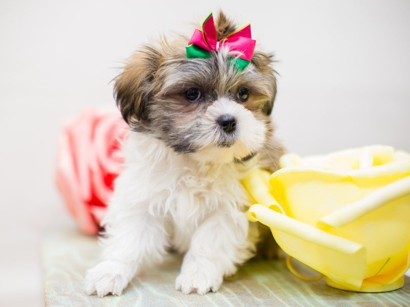 Toy ShihPoo-Female-WHITE & TAN-2293022-Petland Wichita, KS