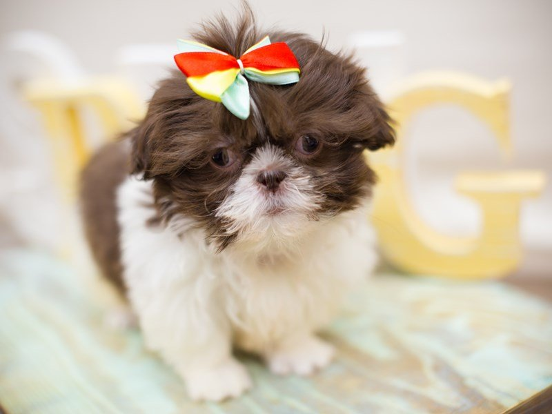 Shih Tzu-Female-Liver & White-2310172-Petland Wichita, KS