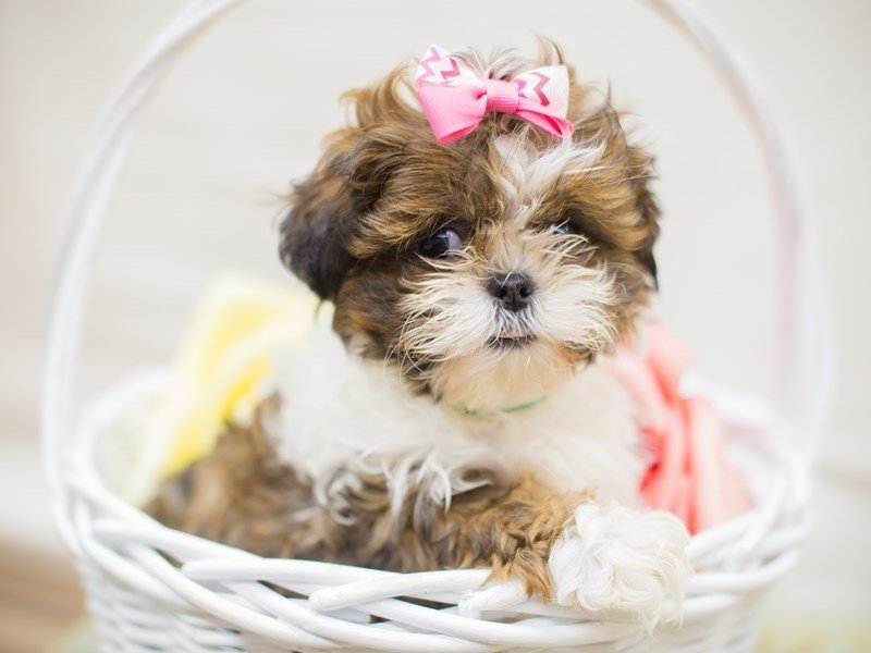 Shih Tzu-Female-Brown & White-2315659-Petland Wichita, KS