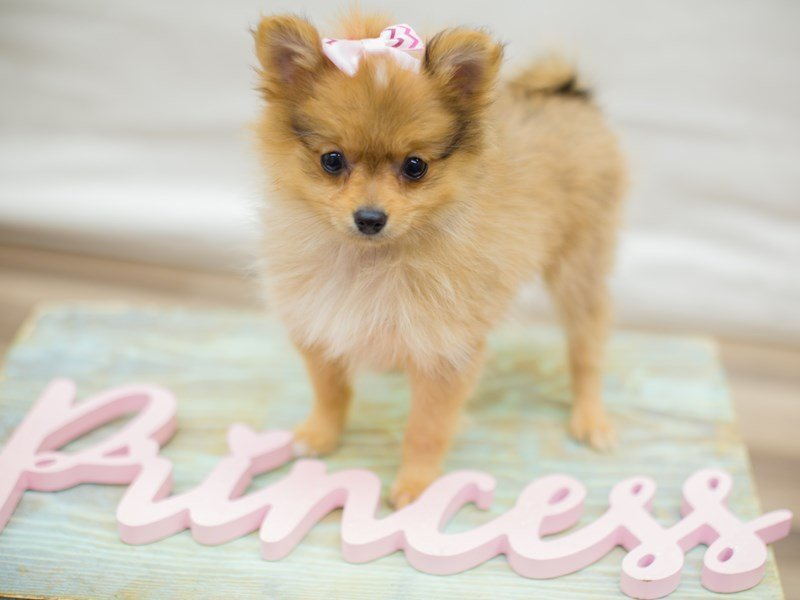 Pomeranian-Female-RED SABLE-2315730-Petland Wichita, KS