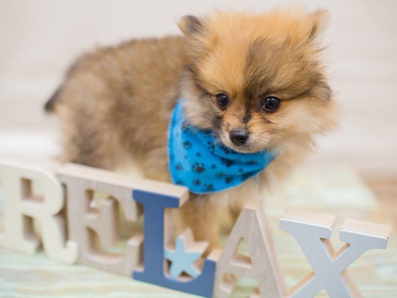 Pomeranian-Male-RED SABLE-2315727-Petland Wichita, KS