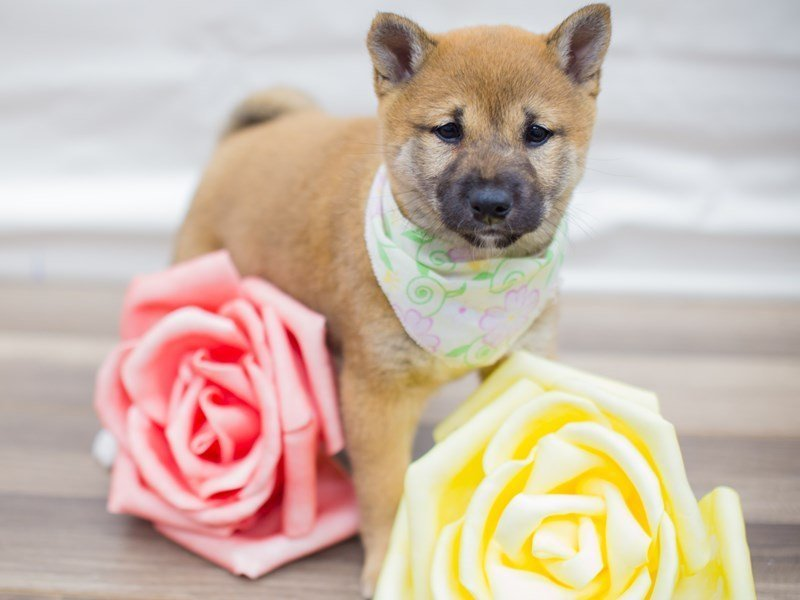 Shiba Inu-Female-Red-2315510-Petland Wichita, KS