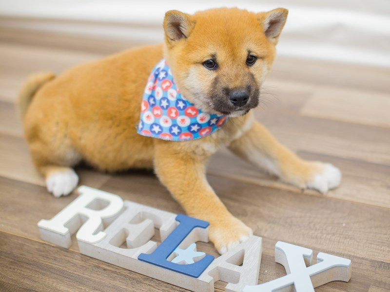 Shiba Inu-Male-Red-2315502-Petland Wichita, KS