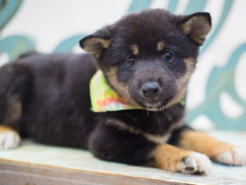 Shiba Inu-Male-Black and Tan-2321240-Petland Wichita, KS