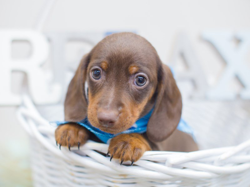 Miniature Dachshund-Male-Chocolate and Tan-2321249-Petland Wichita, KS