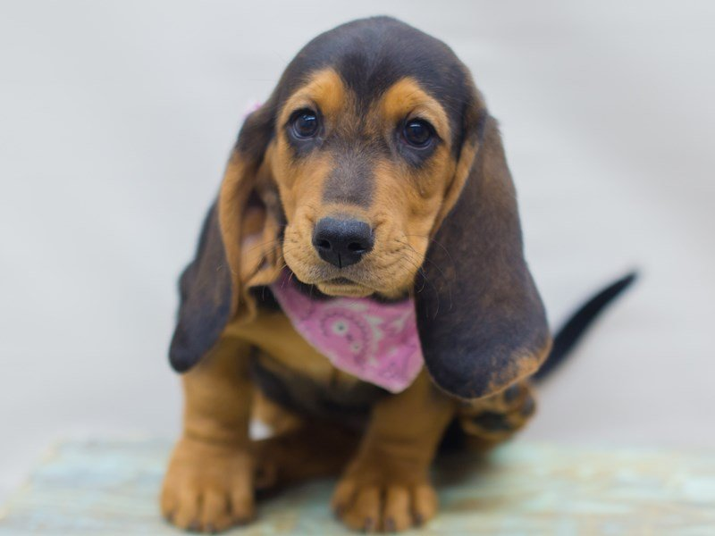 Basset Hound-Female-BLACK, TAN & WHITE-2320974-Petland Wichita, KS