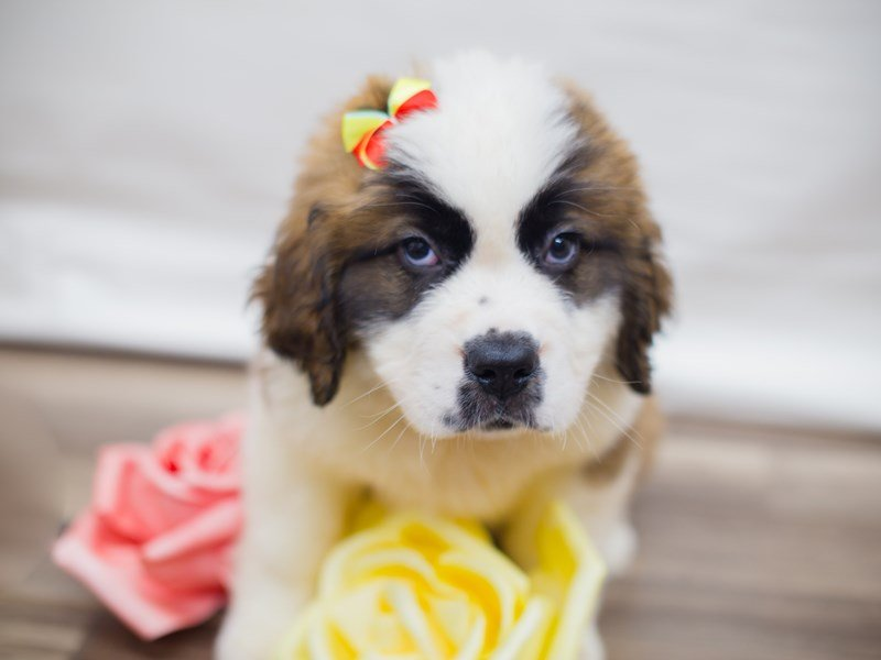 Saint Bernard-Female-Red and White-2320793-Petland Wichita, KS