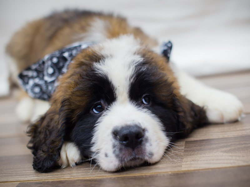 Saint Bernard-Male-Red and White-2320785-Petland Wichita, KS
