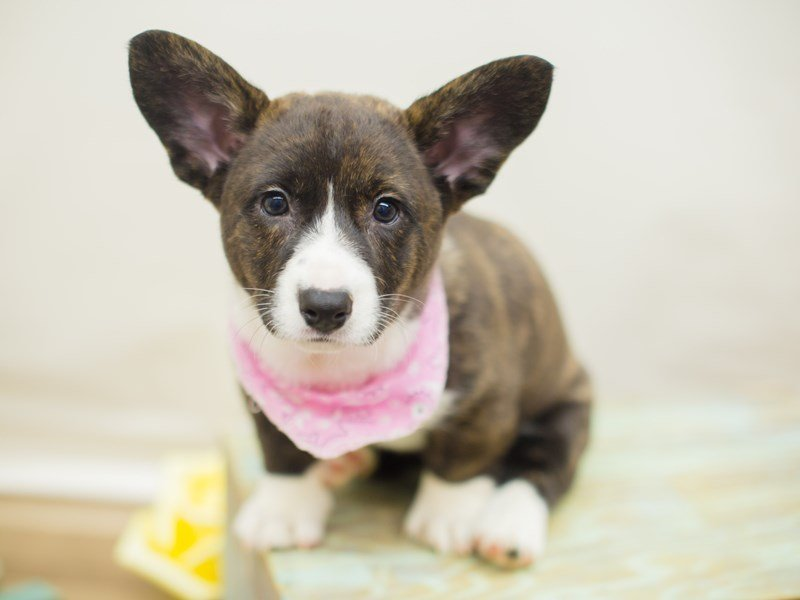 Cardigan Welsh Corgi-Female-Brindle and White-2326625-Petland Wichita, KS