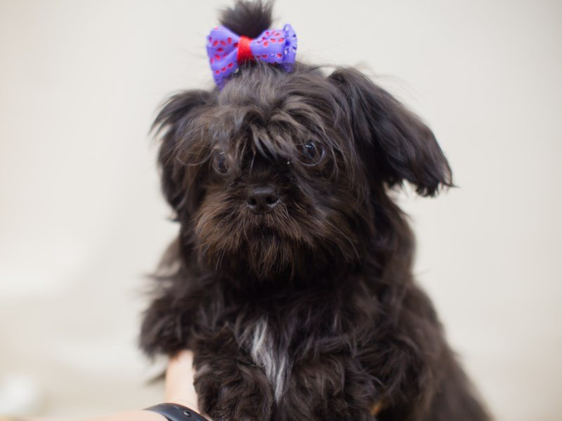 Shih Tzu-Female-Black-2326299-Petland Wichita, KS