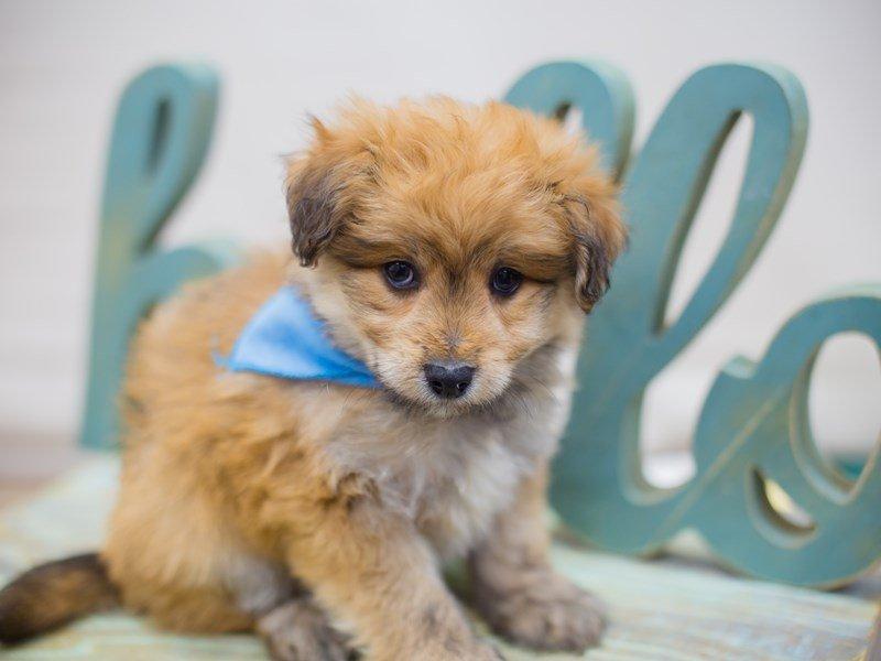Toy Pompoo-Male-Red-2331684-Petland Wichita, KS