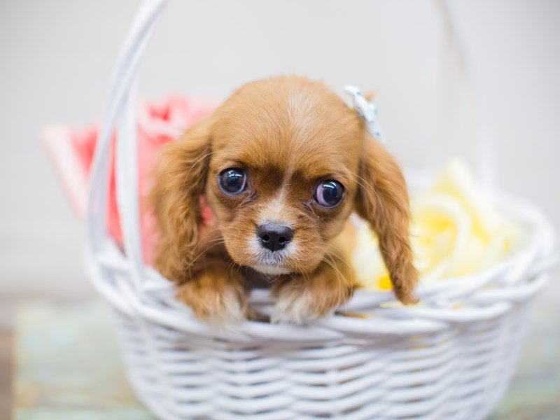 Cavalier King Charles Spaniel-Female-RUBY-2331604-Petland Wichita, KS