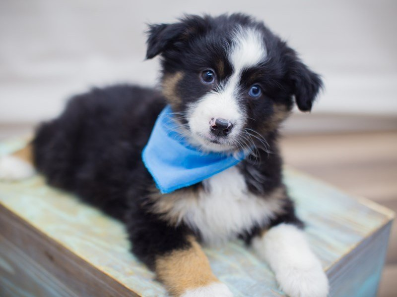 Miniature Australian Shepherd-Male-BLACK TRI-2331507-Petland Wichita, KS