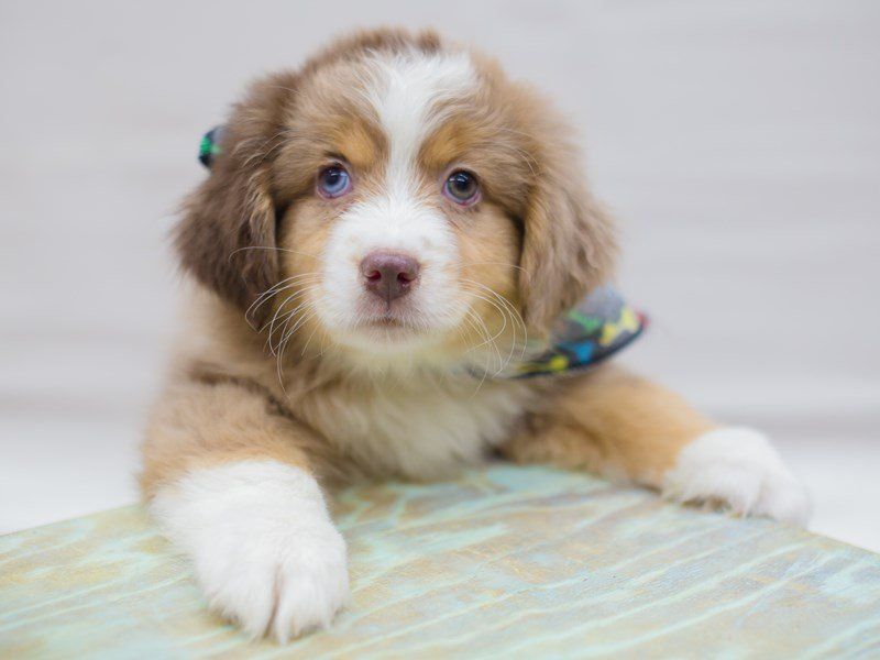 Miniature Australian Shepherd-Male-Red Merle-2331496-Petland Wichita, KS