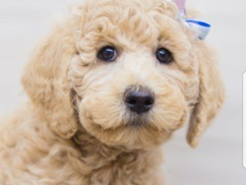 F1B Goldendoodle-Female-Dark Apricot-2336881-Petland Wichita, KS