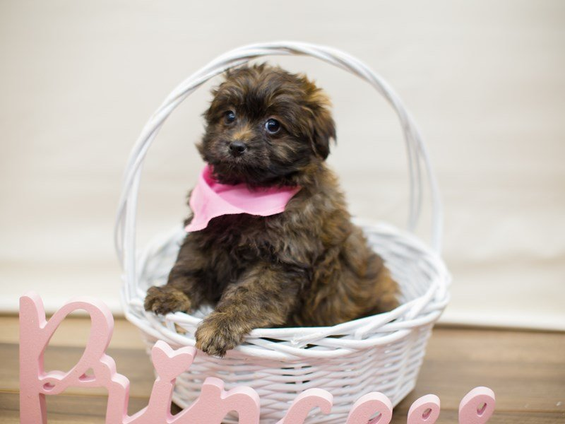 Toy Pompoo-Female-SABLE-2287792-Petland Wichita, KS