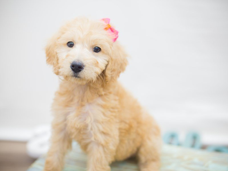 F1B Goldendoodle-Female-APRICOT-2320884-Petland Wichita, KS