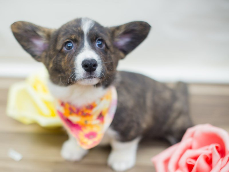 Cardigan Welsh Corgi-Female-Brindle and White-2326630-Petland Wichita, KS