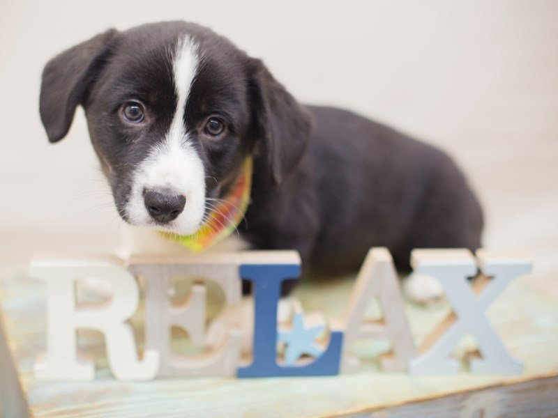 Cardigan Welsh Corgi-Male-Black & White-2326620-Petland Wichita, KS