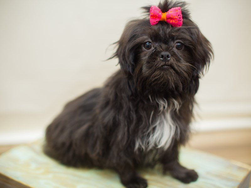 Shih Tzu-Female-Black-2326281-Petland Wichita, KS