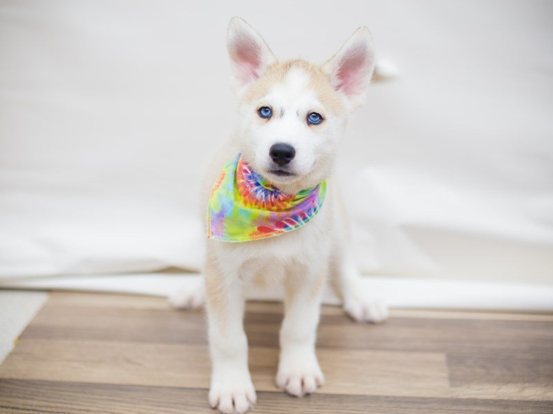 Siberian Husky-Male-Tan and White-2325655-Petland Wichita, KS