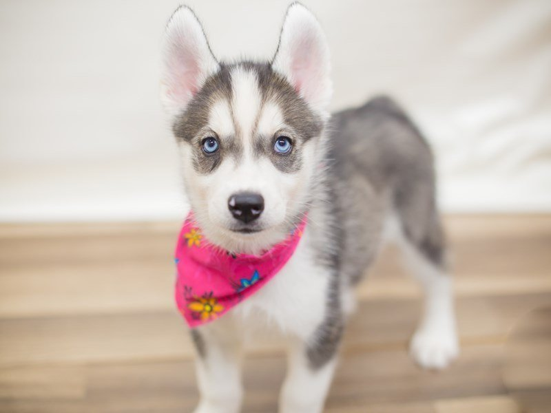 Siberian Husky-Female-Silver and White-2325654-Petland Wichita, KS