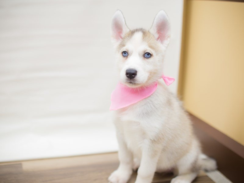 Siberian Husky-Female-Tan and White-2325653-Petland Wichita, KS