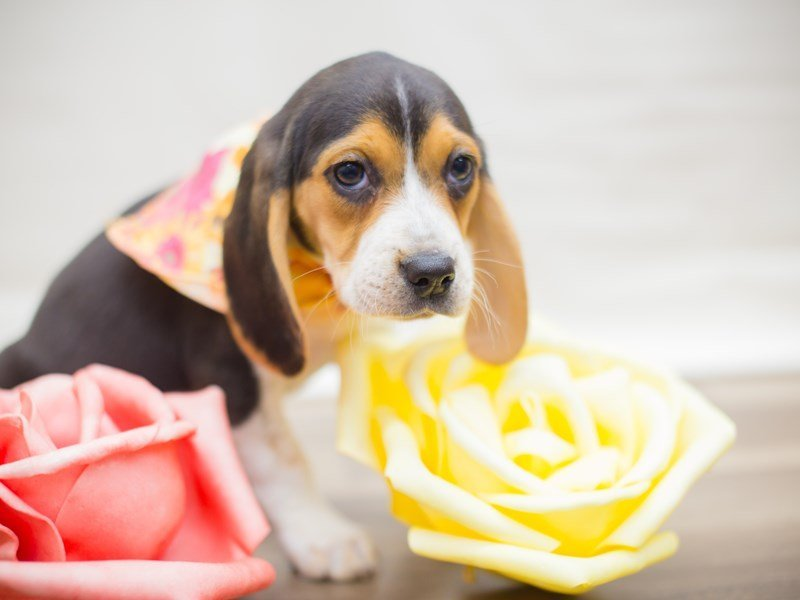 Beagle-DOG-Female-Tri Color-2325579-Petland Wichita, KS