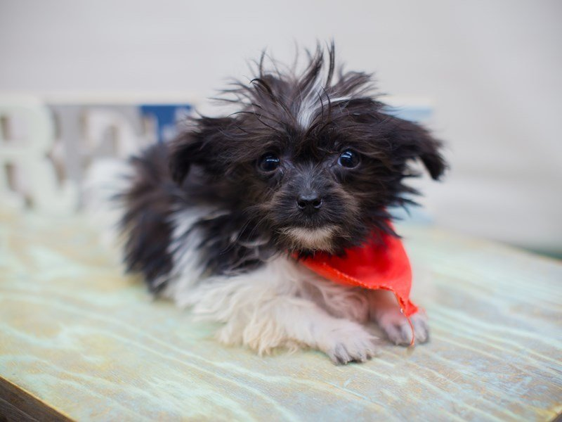 Havanese-Male-Black and White-2331963-Petland Wichita, KS