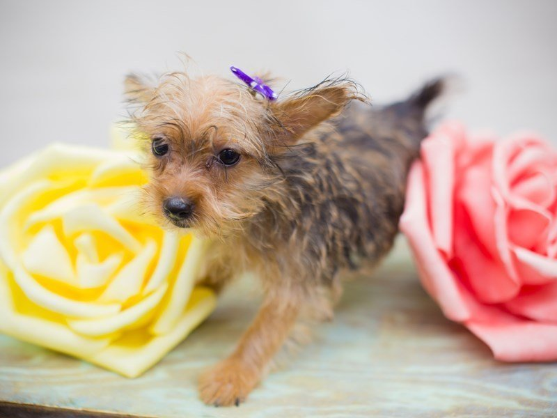 Morkie-Female-Gold and Black-2331943-Petland Wichita, KS