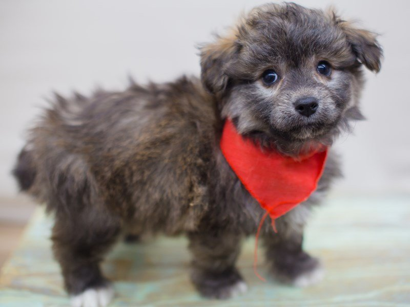 Toy Pompoo-Male-Brindle-2331688-Petland Wichita, KS