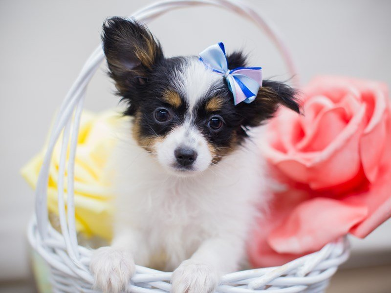 Papillon-Female-Black Tri Color-2331622-Petland Wichita, KS