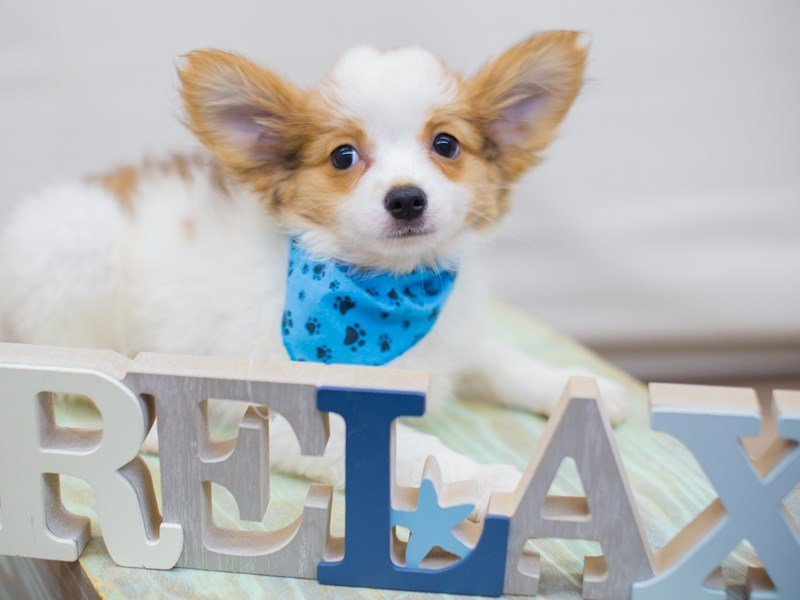 Papillon-Male-Sable and White-2331617-Petland Wichita, KS
