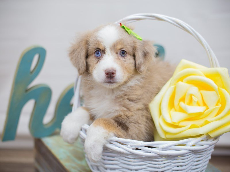 Miniature Australian Shepherd-Female-Red Merle-2331509-Petland Wichita, KS