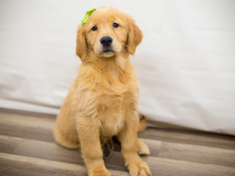 Golden Retriever-Female-Dark Golden-2335810-Petland Wichita, KS