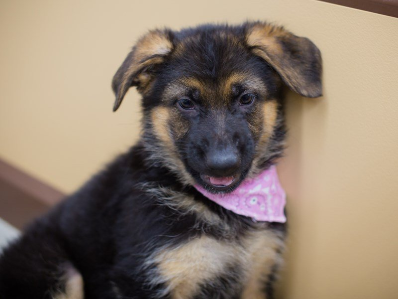 German Shepherd-Female-Black and Tan-2335816-Petland Wichita, KS