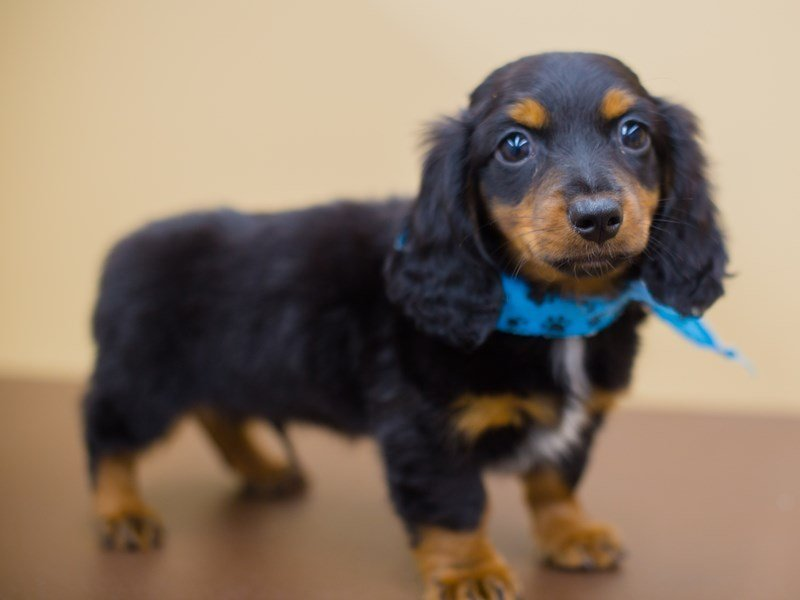 Miniature Dachshund-Male-Black and Tan-2336756-Petland Wichita, KS