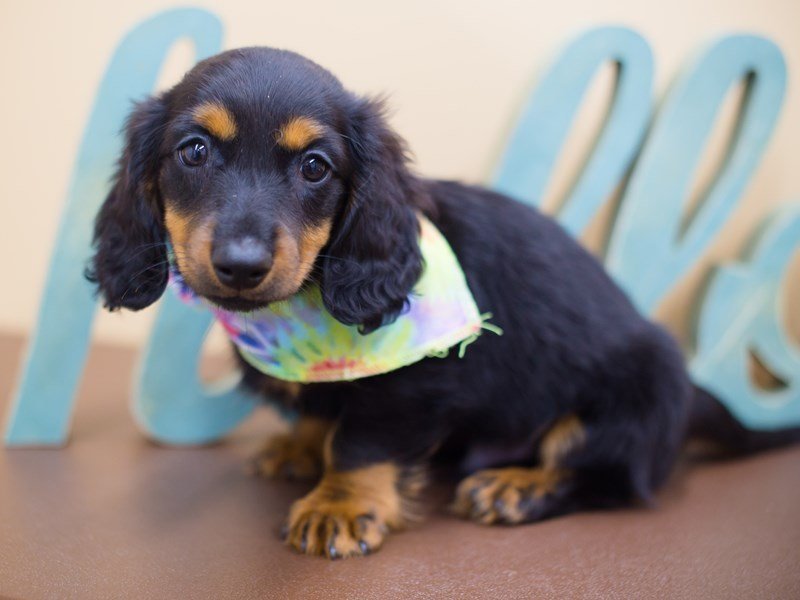 Miniature Dachshund-Male-Black and Tan-2336762-Petland Wichita, KS