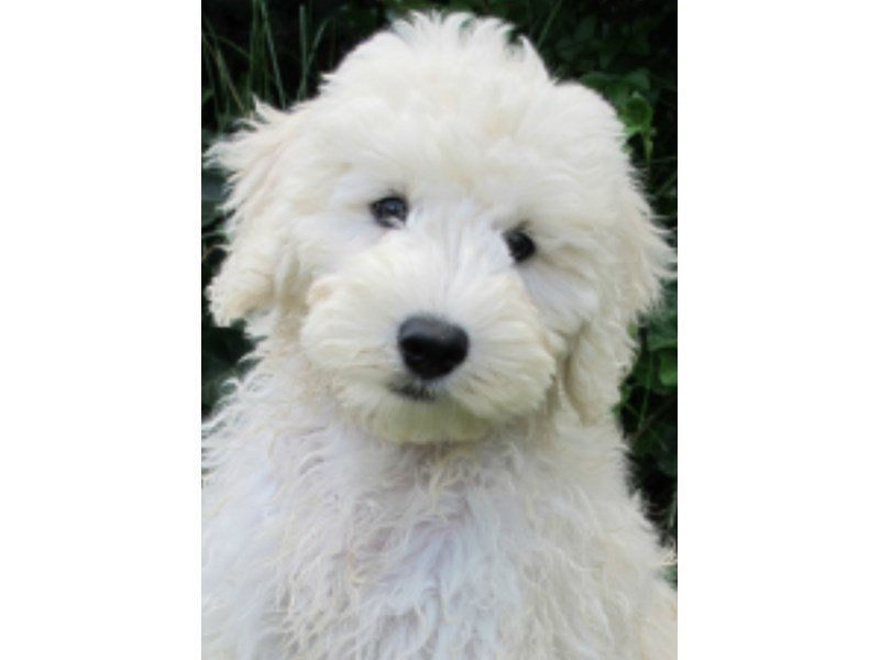 F1B Goldendoodle-Male-Light Apricot-2336896-Petland Wichita, KS