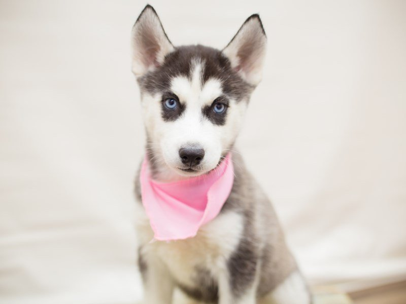 Siberian Husky-Female-BLACK & WHITE-2342504-Petland Wichita, KS
