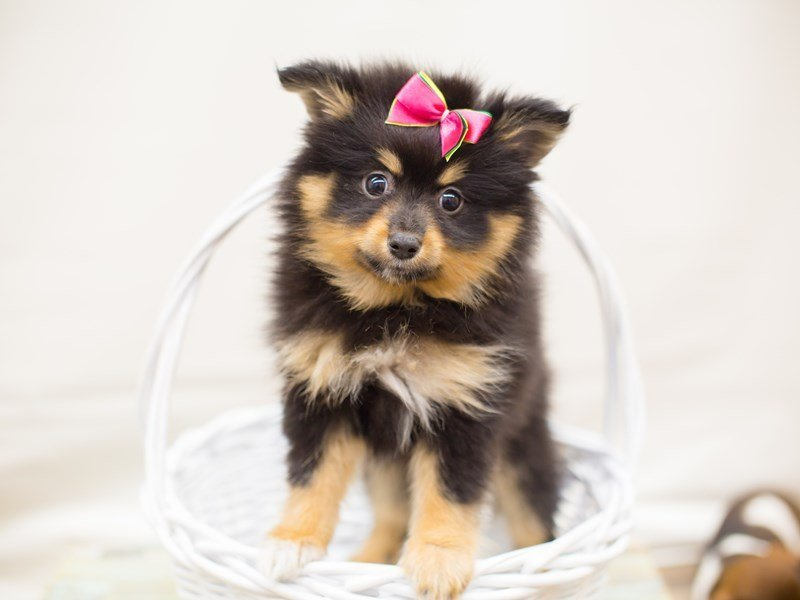 Pomeranian-Female-BLACK AND TAN-2342468-Petland Wichita, KS