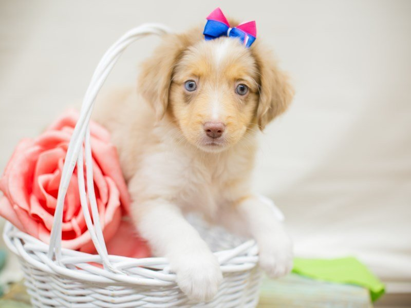 Miniature Australian Shepherd-DOG-Female-RED MERLE-2342463-Petland Wichita, KS